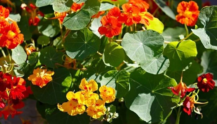 Bright yellow and orange blooms of nasturtium plants.