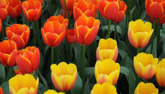 A group of orange and yellow tulips blooming.
