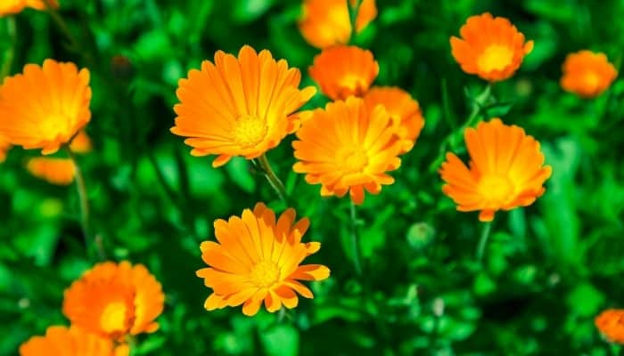 Several orange calendula flowers.