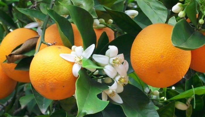 Ripe oranges and blossoms on a mature orange tree.