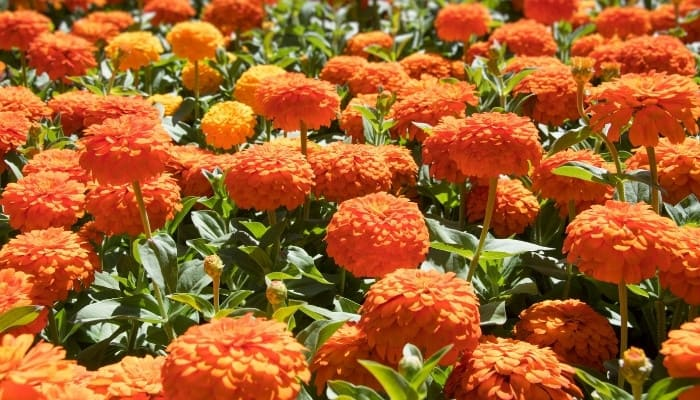 A large patch of orange zinnias in full bloom.
