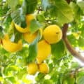 A healthy outdoor lemon tree loaded with ripe lemons with bright sunshine peaking through the branches.
