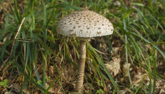 A parasol mushroom (Macrolepiota procera) in the woods.