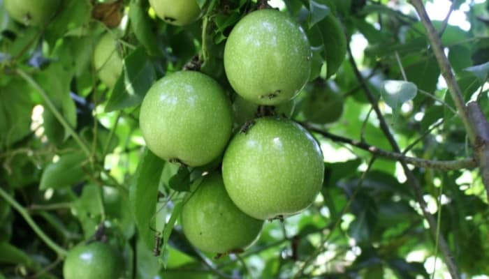 Several developing passion fruits growing on the vine.