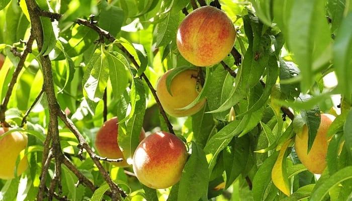 Almost-ripe peaches on a mature peach tree.