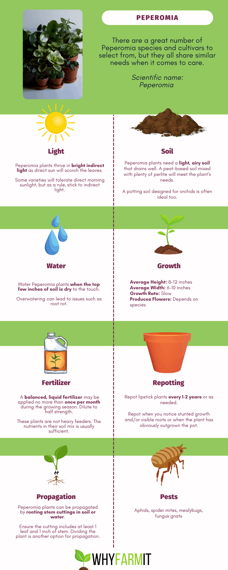 Graphic outlining care of Peperomia plants.
