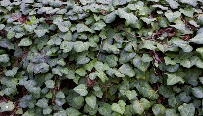 A stone wall covered in Persian ivy.