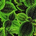 The textured green-and-black leaves of the Pilea 'Moon Valley' plant.