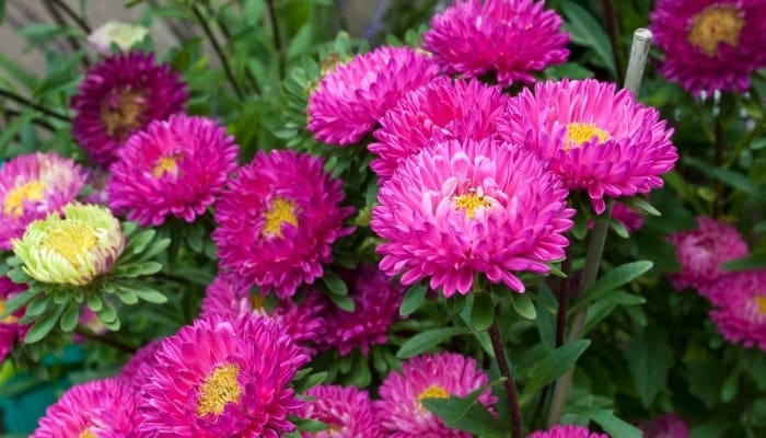 Several pink China aster flowers.