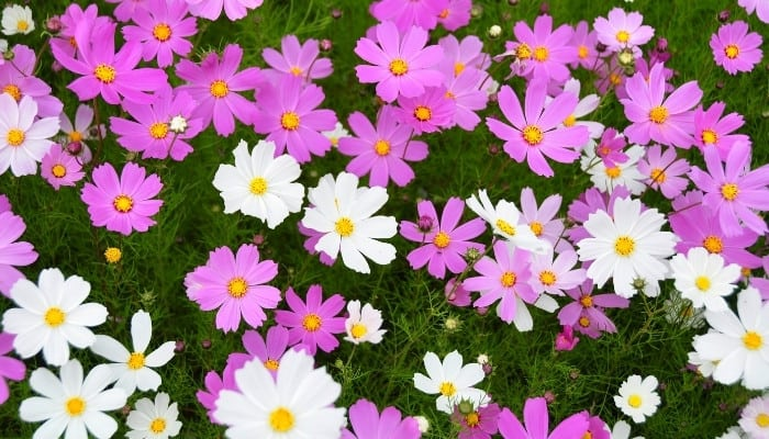 Pink and white cosmos flowers in full bloom.