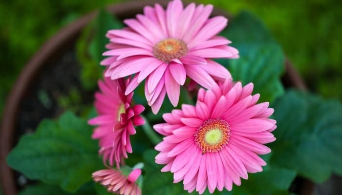 A gerbera daisy plant with four bright pink flowers.
