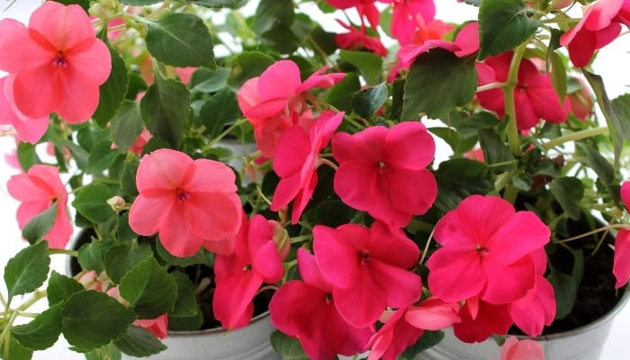 Two white metal planting containers filled with bright pink impatiens.