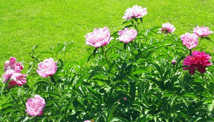 Pink peonies blooming at the edge of a garden.