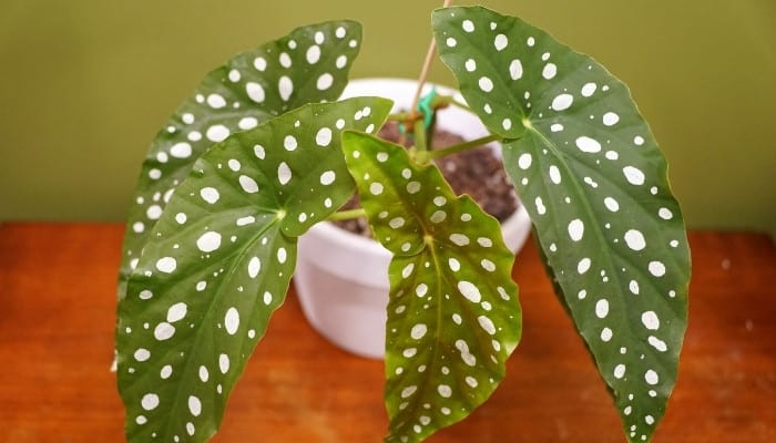 A healthy polka dot begonia on a shiny wood table.
