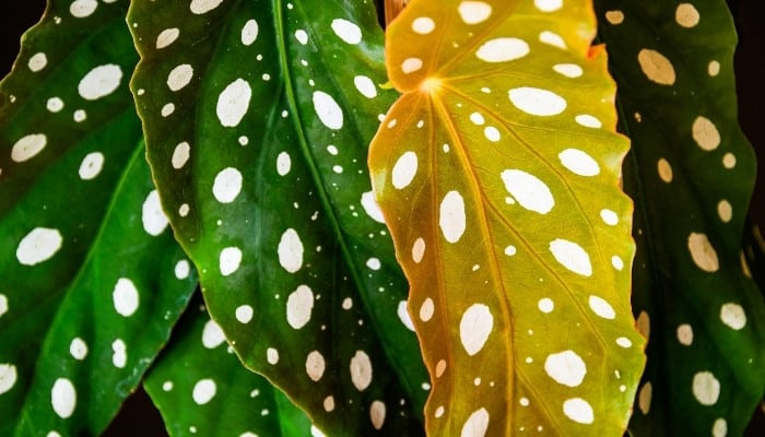 A close-up look at polka dot begonia leaves with one showing signs of yellowing.