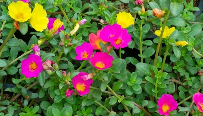 Bright yellow and pink portulaca flowers.