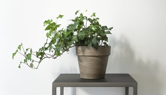 A small potted English ivy plant on a square brown table against a white wall.