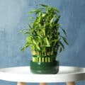 A potted lucky bamboo plant on a white stool against a blue background.