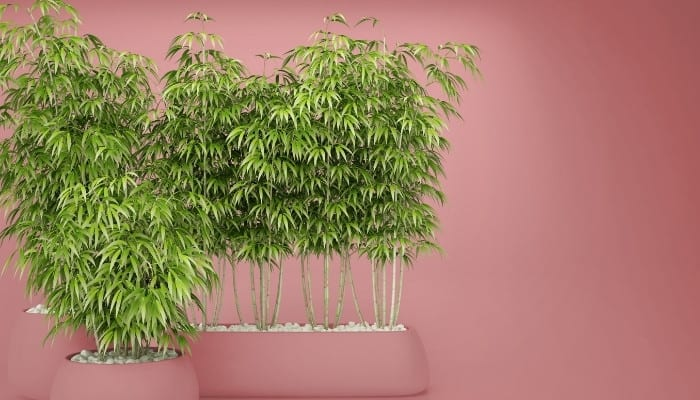 Five bamboo plants in two pink pots against a pink background.