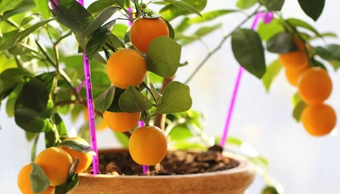A potted kumquat plant with fruit growing indoors.