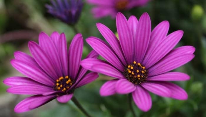 Two purple African daisy flowers.