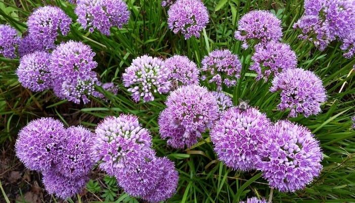 A purple allium plant in full bloom.