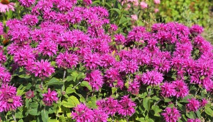 Purple bee balm in full bloom.