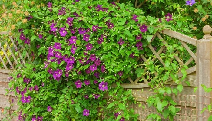 A purple clematis plant in full bloom growing on a garden fence.