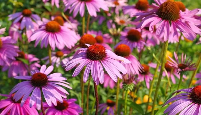 Purple coneflowers blooming in profusion.