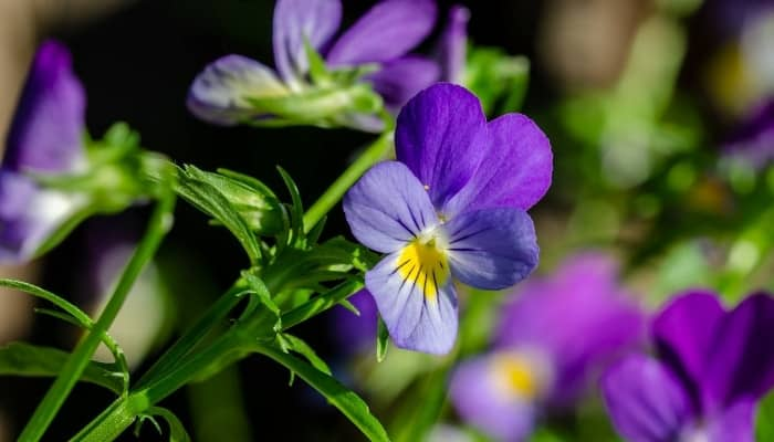Purple and lilac blooms of the field pansy.
