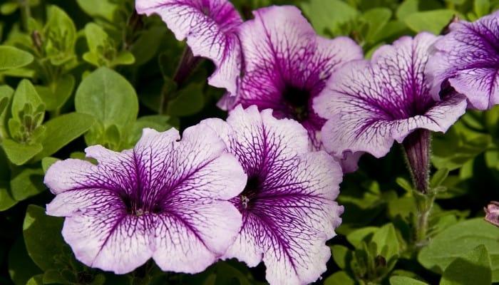 Several lovely purple petunia flowers.