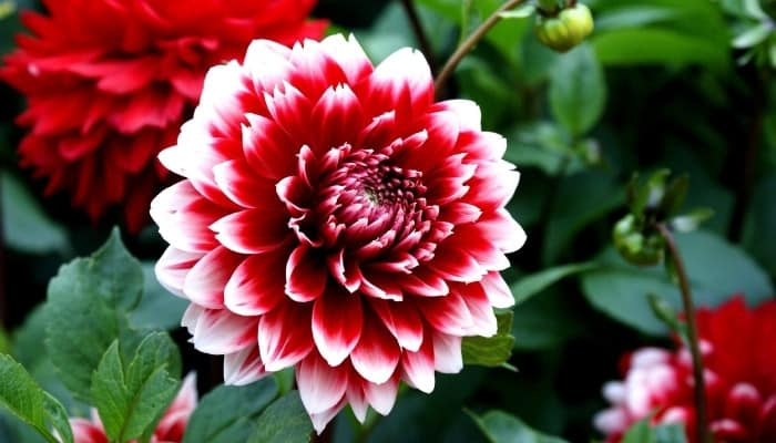 A gorgeous red-and-white dahlia flower in full bloom.