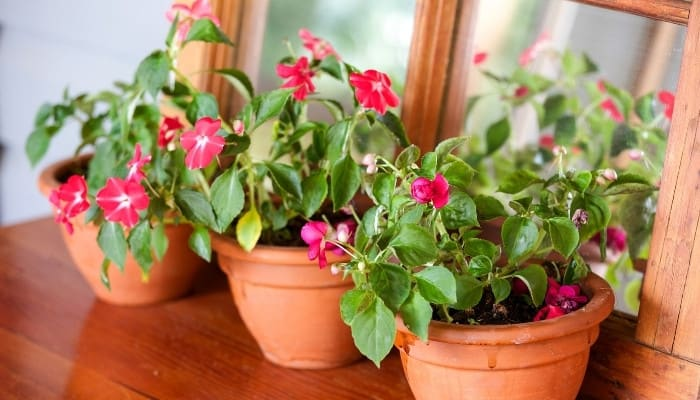 Three terra cotta pots of red impatiens on top of a wood table with a mirror behind it.