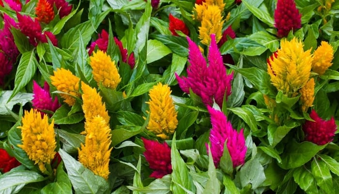 Red, pink, and yellow plumes of celosia flowers.
