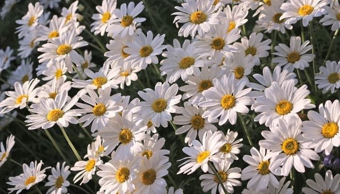 Multiple shasta daisies in full bloom.