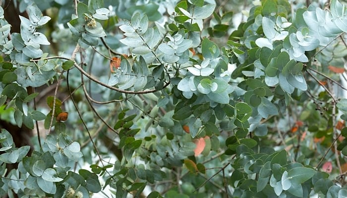Branches and leaves of silver dollar eucalyptus tree.