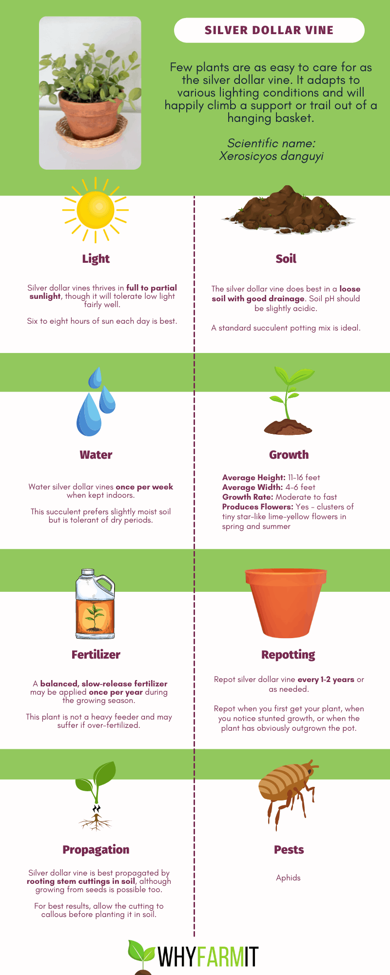 Graphic outlining care for a silver dollar vine.