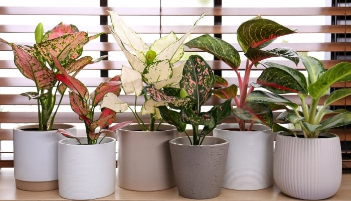 Six healthy houseplants sitting in front of window with open wood blinds.