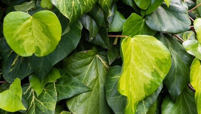 Green-and-yellow leaves of sulphur heart ivy.