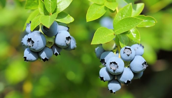 Ripe berries on a Sunshine Blue blueberry bush ready to be picked.
