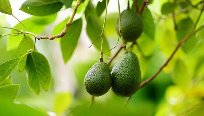 Three ripe avocados hanging from the tree branch.