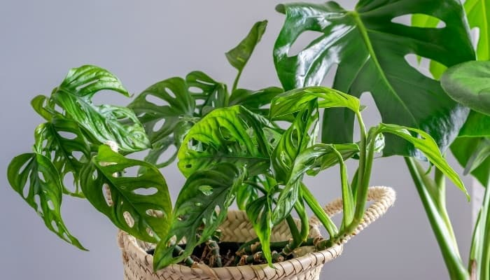 A Swiss cheese Monstera in a basket pot with another Monstera plant in the background.
