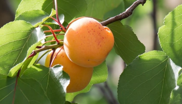 Two ripe apricots on a tree waiting to be picked.