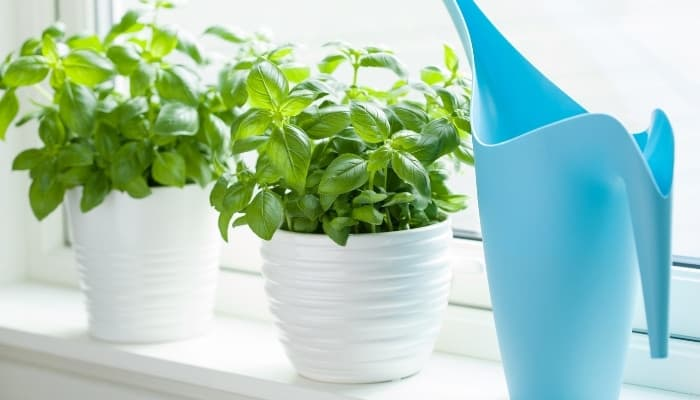 Two basil plants in white pots sitting in a sunny window sill beside a light-blue watering can.