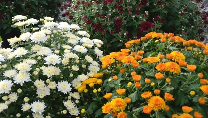 Red, gold, and white mums in full bloom.