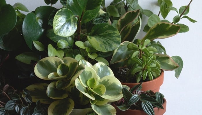 A varied collection of peperomia plants in front of a light-blue wall.