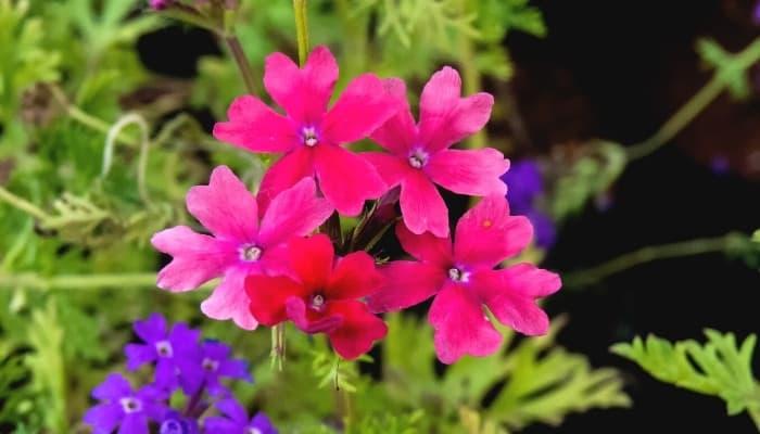 Bright pink verbena rose vervain flower.