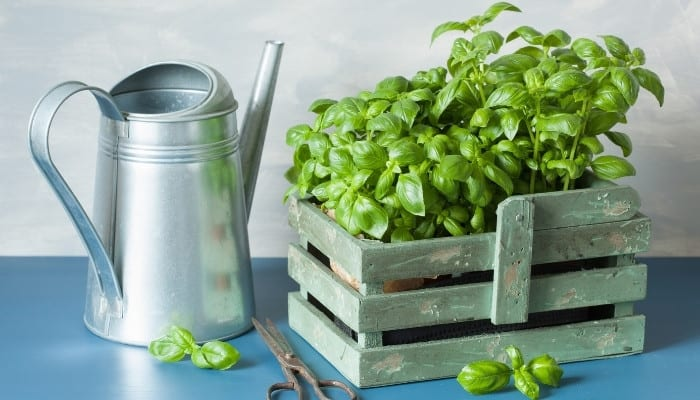 A silver watering can, scissors, and two basil plants in a rustic container sit on a blue table.
