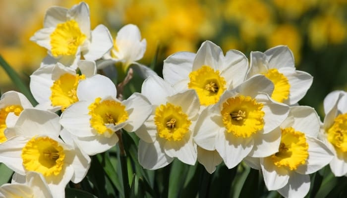 White daffodil flowers with yellow centers.