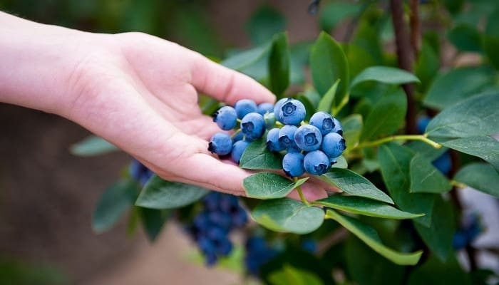 A woman's hand inspecting ripe blueberries growing on the bush.